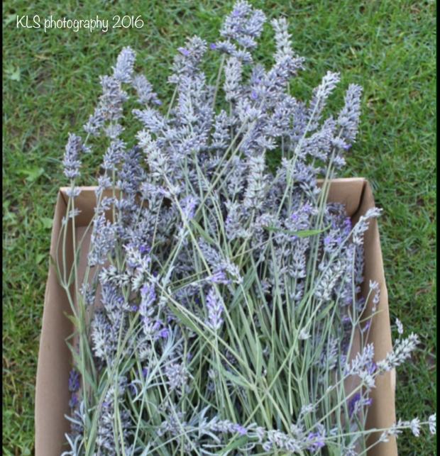Lavender6