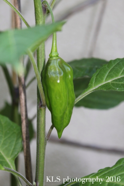 chillies7